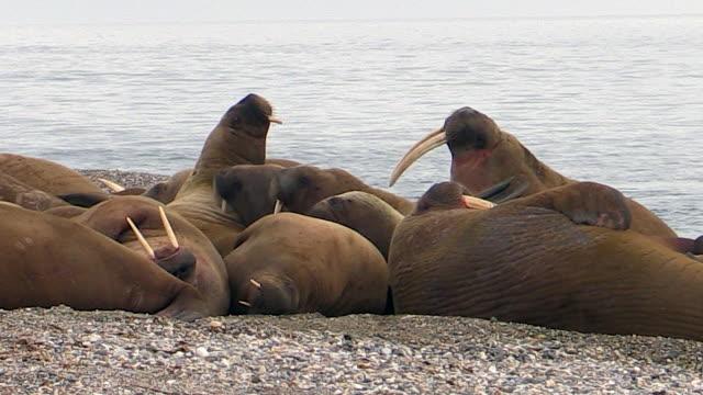 Walrus group on land, Svalbard, Norway
