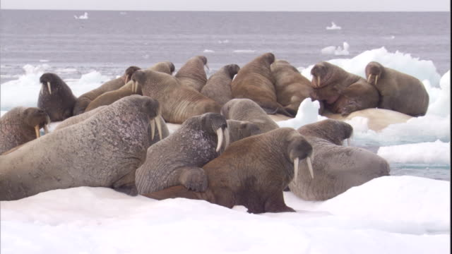 A walrus herd rests on sea ice in Arctic Canada.