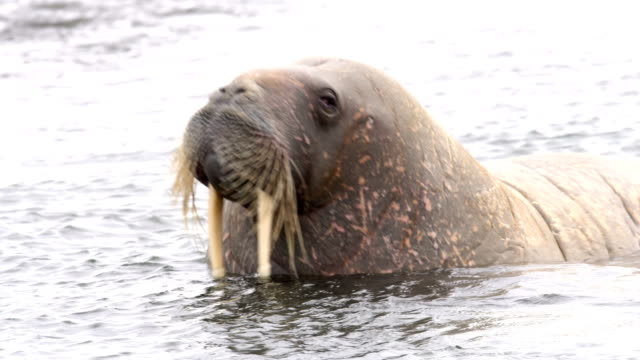 Walrus (Odobenus rosmarus) in the water, Svalbard Norway