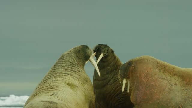 cu 3 walrus looking around - arktis stock-videos und b-roll-filmmaterial