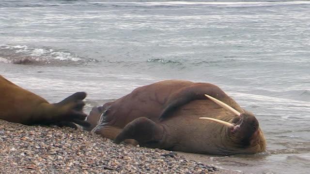 Walrus rolls over, Svalbard, Norway