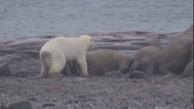 Walrus stabs tusks at hunting polar bear. Available in HD.