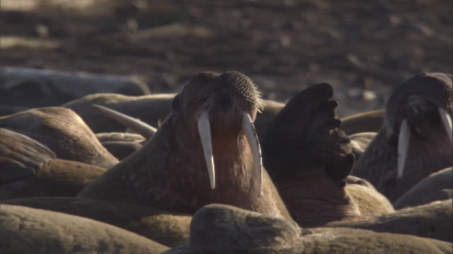 A walrus sticks its head up from a pod of walruses resting on a beach in Svalbard, Norway.