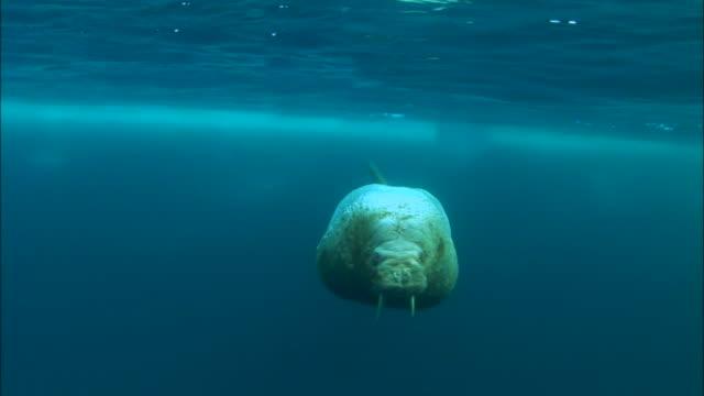 Walrus swimming underwater