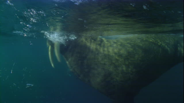 A walrus swims in shallow water.