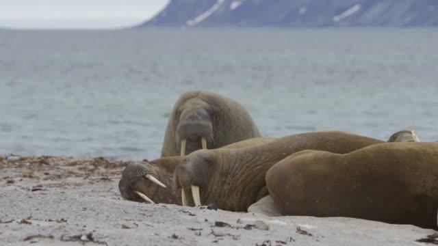 walrus (odobenus rosmarus) - colony stock videos & royalty-free footage