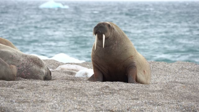 walrus (odobenus rosmarus) - tropical fish stock videos & royalty-free footage