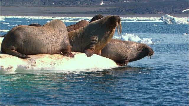 Walruses entering into water