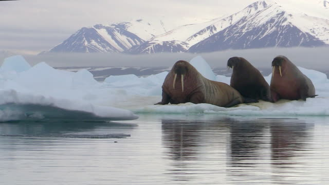 Walruses on ice, mountains in background, Svalbard, Norway