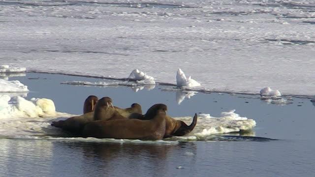 Walruses on ice, Svalbard, Norway