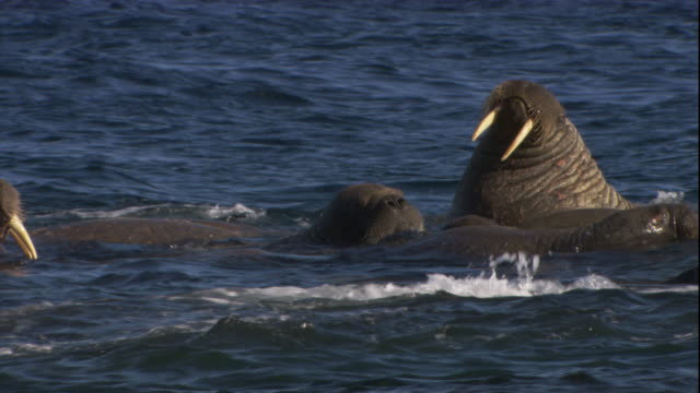 Walruses relax in shallow Arctic waters.