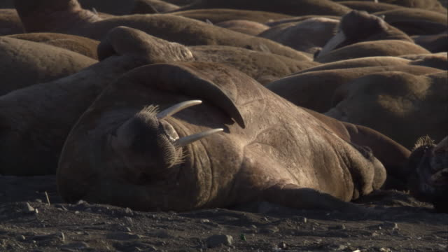 walruses rest a beach in svalbard, norway. - svalbard islands stock videos & royalty-free footage