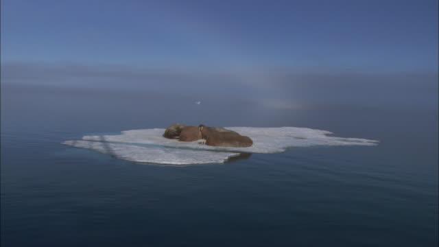 Walruses rest on an ice floe in Svalbard, Norway.