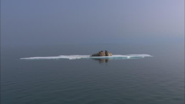 Walruses rest on ice floe, Svalbard, Arctic Norway