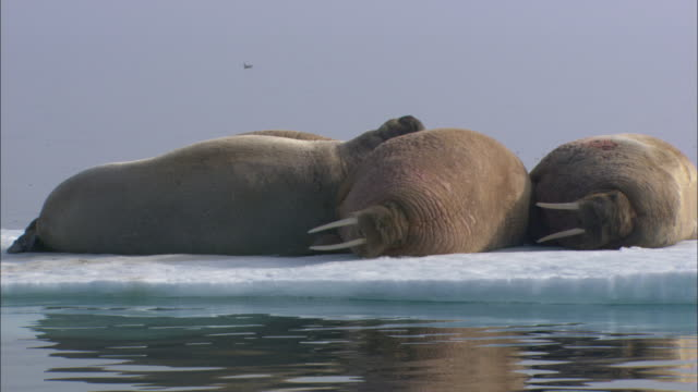 walruses rest on ice floe, svalbard, arctic norway - reclining stock videos & royalty-free footage