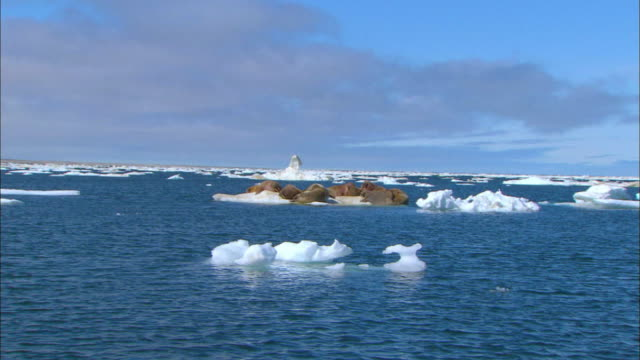 Walruses resting on the ice field