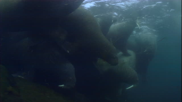 Walruses swarm in shallow Arctic waters.