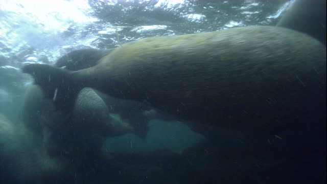 Walruses swim in shallow Arctic waters.