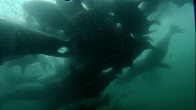 Walruses swim in the Arctic Ocean.