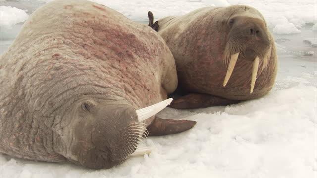 Walrus,Odobenus rosmarus, adults on ice floes, Manning Island, Nunavut, Canada