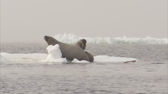 walrus,odobenus rosmarus, adults on ice floes, manning island, nunavut, canada - ice floe stock videos & royalty-free footage
