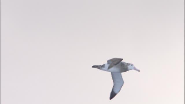 wandering albatross (diomedea exulans) above heavy seas - albatross stock videos & royalty-free footage