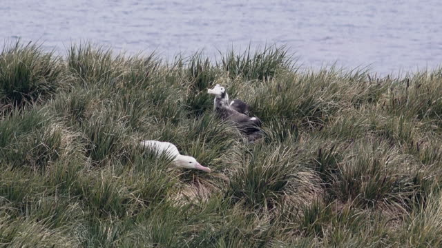 Wandering Albatross and chick, Prion Island, South Georgia Island, Southern Ocean