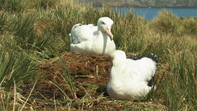 ms, wandering albatross (diomedea exulans) building nest, south georgia island, falkland islands, british overseas territory - insel south georgia island stock-videos und b-roll-filmmaterial