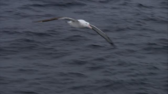 ms, wandering albatross flying above ocean, antarctica - albatross stock videos & royalty-free footage