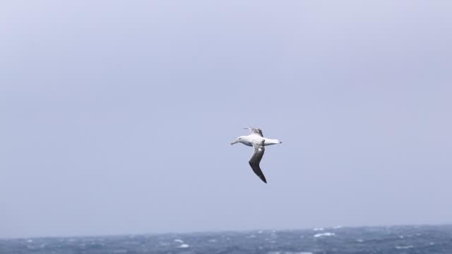 wandering albatross flying over a stormy southern ocean - albatross stock videos & royalty-free footage