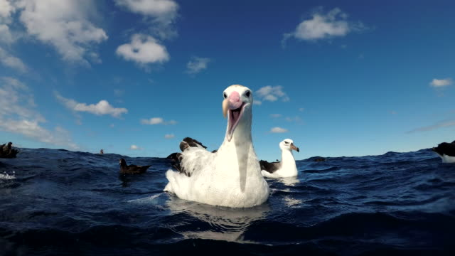 wandering albatross very curious about the camera, very close view, pacific ocean, north island, new zealand. - 翼を広げる点の映像素材/bロール