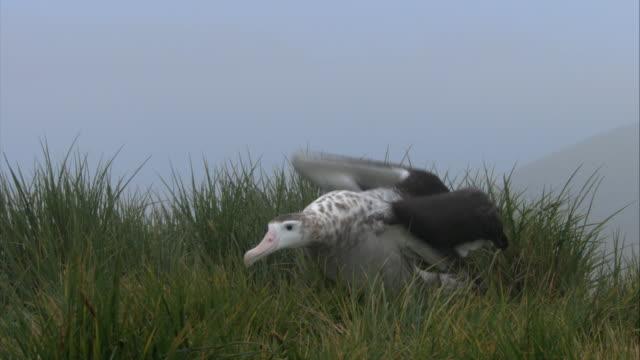 cu,  wandering albatross walking in grass with spread wings, antarctica - spread wings stock videos & royalty-free footage