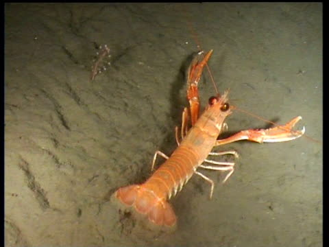 wandering norway lobster is startled by hermit crab, then by second lobster, norway - ロブスター点の映像素材/bロール