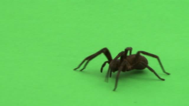 vídeos de stock e filmes b-roll de a wandering spider crawls across a green screen. - imagem em movimento