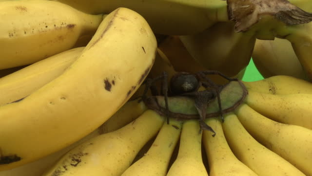 a wandering spider hides on a group of bananas. - nascondere video stock e b–roll