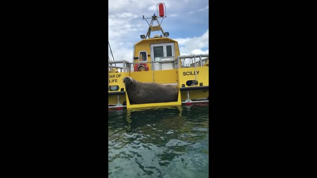 wandering walrus that's been making headlines since he set out on an epic journey across europe back in march was spotted napping on a boat in the... - sea life stock videos & royalty-free footage