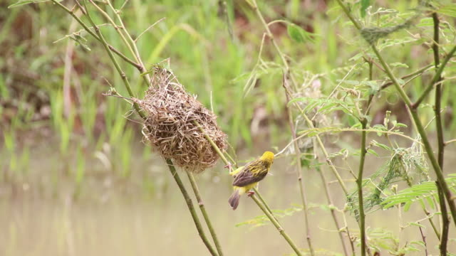 warbler and her nest in the countryside. - warbler stock videos & royalty-free footage