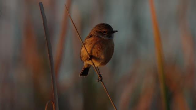 ms warbler bird perched on twig  / doí±ana national park, huelva & sevilla, spain - warbler stock videos & royalty-free footage