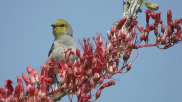 warbler bird perches on ocotillo branch - warbler stock videos & royalty-free footage