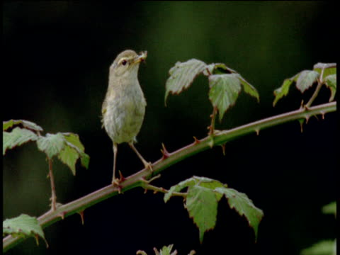 Warbler flies from brambles carrying an insect in its beak, Devon