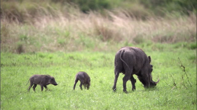 vídeos de stock, filmes e b-roll de warthog (phacochoerus africanus) and piglets graze, uganda - javali africano