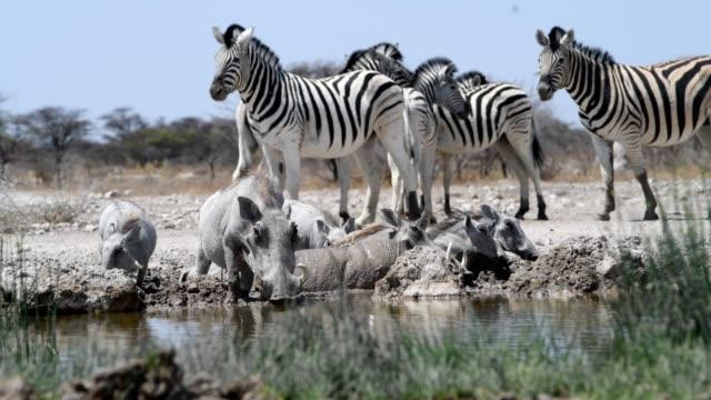 vidéos et rushes de phacochère et zebra - plan d'eau
