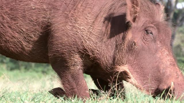 vídeos de stock, filmes e b-roll de a warthog bends its knees as it eats scrub grass on the savanna. - javali africano