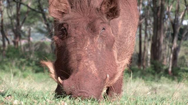 vídeos de stock, filmes e b-roll de a warthog chews scrub grass on bent front knees. - javali africano