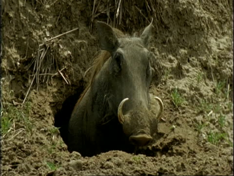 MS Warthog emerging from burrow under tree roots, pushes soil out of way, stands and looks, Mana Pools, Zimbabwe