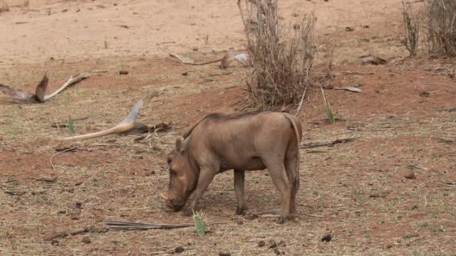 vídeos de stock, filmes e b-roll de javali de pastoreio na natureza - javali africano