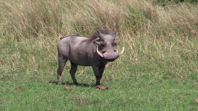 vídeos de stock, filmes e b-roll de warthog in meadow, kenya - javali africano