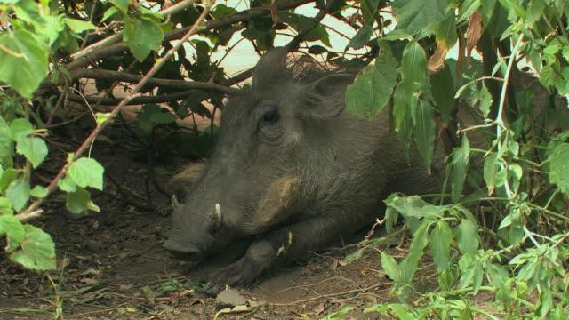 vídeos de stock, filmes e b-roll de ms, warthog (phacochoerus africanus) lying under bush, laikipia, kenya - javali africano