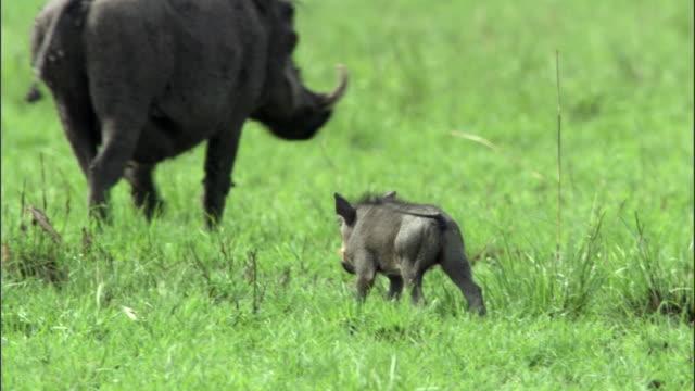 vídeos de stock, filmes e b-roll de warthog (phacochoerus africanus) piglet approaches adult, uganda - javali africano