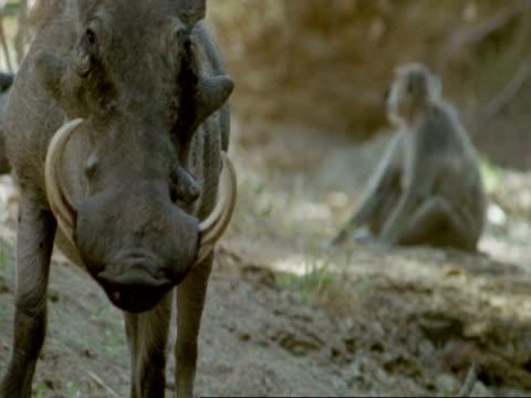 vídeos de stock, filmes e b-roll de cu warthog standing near waterhole, tanzania - javali africano